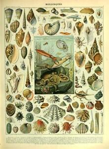 Mollusques-Sea-Life-Entitled-Vintage-Shell-Conch-Poster-Wall-Decor