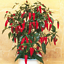 200Pcs-Pepper-Capsicum-Vegetable-Seeds-Rare-Colorful-Hot-Chili-Bonsai-For-Garden thumbnail 3