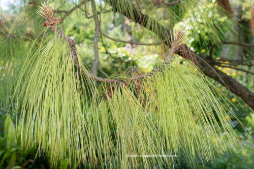 Lacrime Pino Pinus WALLICHIANA 80 semi quantitativi di SCONTO!!!