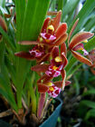 Cymbidium floribundum, orchid species