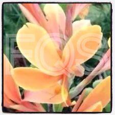 15 x Tropical Canna Seeds Peach/Yellow Flower