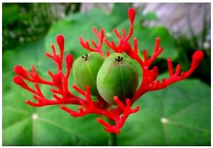 5 seed Buddha belly plant bottle gout plant RARE Jatropha podagrica succulent