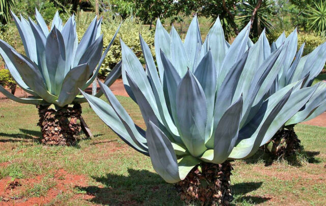 RARE AGAVE AMERICANA century plant @ succulent exotic maguey aloe seed 100 SEEDS