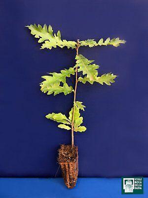 QUERCUS CERRIS Alveolo 1 pianta 1 plant Cerro