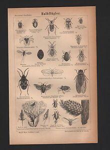 wanzen im bett bilder, lithografie 1876: halbflügler. feuer-bett-wanze filz-laus insekten, Design ideen