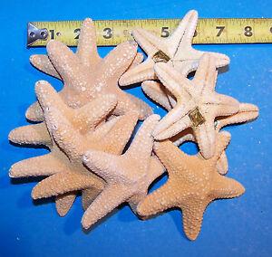 "or REAL TAN FLAT STARFISH  STAR FISH SEASHELLS WEDDING CRAFTS MORE 50 3//4/"""