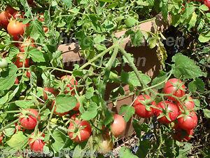 Garden pearl zimmertomate 10 samen sehr selten tomaten f r balkon und k bel ebay - Winterbepflanzung fur balkonkasten und kubel garten ...