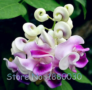 50 pcs japanese snail vine seeds bonsai diy home garden plants pot image is loading 50 pcs japanese snail vine seeds bonsai diy publicscrutiny Gallery