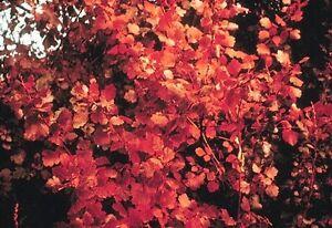Fragrant Sumac Tree Seeds Rhus aromatica 25+Seeds