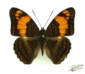 Adelpha-Mesentina-The-Mesentina-Sister-A1-Mariposa-Real-Juego-x1-Entomologia