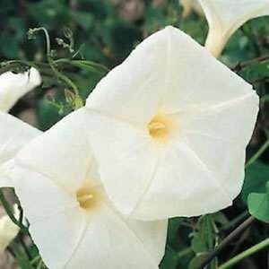 30pure white pearly gates morning glory flower seeds ebay image is loading 30 pure white 034 pearly gates 034 morning mightylinksfo