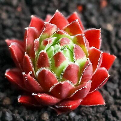 CG:Sempervivum Jov.Soblifera Succulents cold hardy Hen Chicks Aeonium Crassula