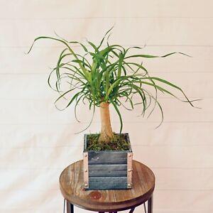 Live Ponytail Palm Elephant Foot Tree Bonsai Houseplant In 6 Gift Box Ebay