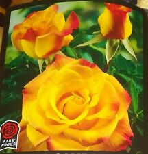 RIO SAMBA Rose Bush Flowers Live Plant Shrub YELLOW ORANGE RED roses