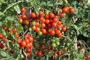 VEGETABLE-TOMATO-CHERRY-CERISE-1250-SEEDS-BULK