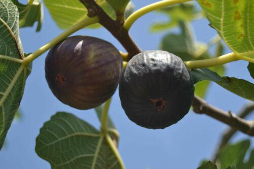 1 x live plant ABEBEREIRA  fig tree