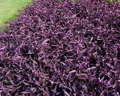 Purple Heart Plant Out Indoor Purple Wandering Jew 100 Pc