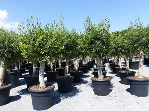 Olivenbaum-160-170-cm-40-Jahre-alt-beste-Qualitaet-winterharte-Olive
