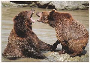 Ansichtskarte-zwei-rivalisierende-Braunbaeren-two-fighting-brown-bears