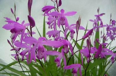 Bletilla striata /'Alba/' /'M /'Kuchibeni/' Clapdrop/'- Gartenorchideen 3er Paket