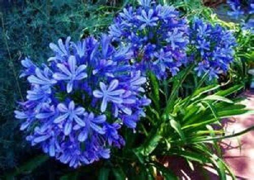 Large Blue Lily of the Nile  20 Seeds Agapanthus praecox Large Blue