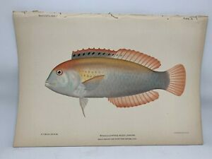 Antique-Lithographic-Print-Reef-Fishes-Hawaiian-Islands-Bien-1903-Plate-60