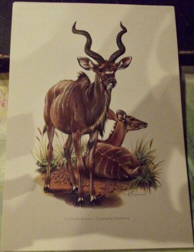 N°164 Mammal Poster Grand Koudou Kenya South Africa