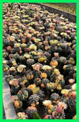 Astrophytum Variegated Mix Seed 50Seeds No Agave Aariocarpus Haworthia Seeds