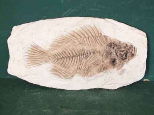 Fisch Fossil  Versteinerung Fossilien Petrefakt Mineralisiertes Fossil Replik