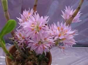 Orchid-species-Seedling-garden-plant-Dendrobium-bracteosum