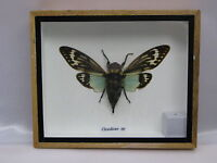 CICADICAE SP.  - real - taxidermy - Beetle - beautiful Insect - in 3D Box