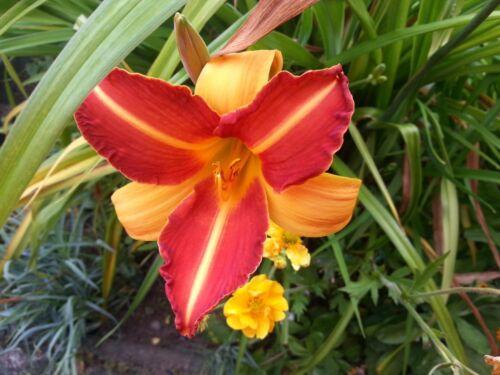Hemerocallis Day Lily Frans Hals Perennials x 3 Bareroot Plants