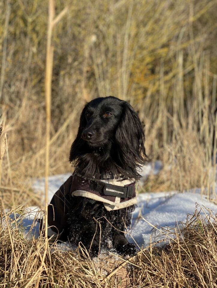 Dværggravhund, hund, 8 år