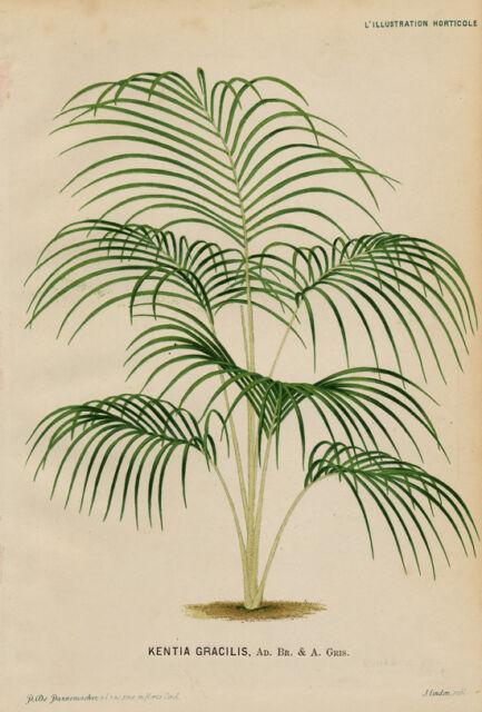 Horticulture Palmier Kentia Gracilis - Chromolitho L'illustration Horticole 19e