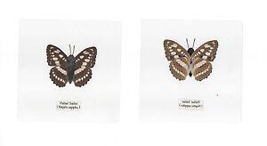 Laminated-Butterfly-Pallas-Sailer-Neptis-sappho-11x11-cm-sheet-Specimen
