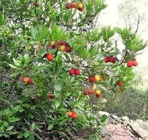 Erdbeerernte-vom-winterharten-Erdbeerbaum-winterharte-Laubgehoelze-fuer-den-Garten