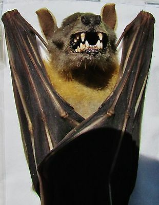 Lesser Short-nosed Fruit Bat Cynopterus brachyotis Hanging FAST SHIP FROM USA