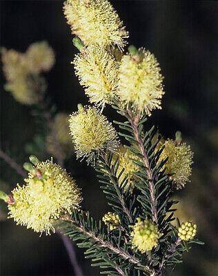 Melaleuca leucadendra Weeping Paperbark 30 seeds FREE SHIPPING