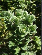Marjoram herb seeds, delicious, perennial