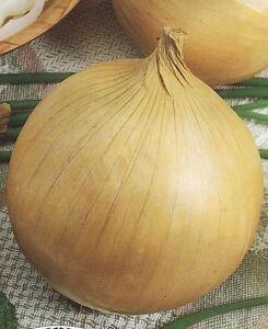 Onion Seeds Batun Heirloom Vegetable Seed from Ukraine perennials