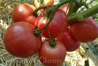 10 graines de tomate Pommes de Sibérie généreuse résistante aux climats frais