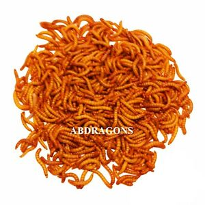 250 to10,000 Giant Live Mealworms Free Shipping!