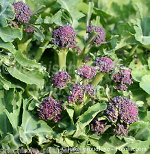 EARLY PURPLE SPROUTING Brokkoli Wintergemüse * 100 Samen* frostfest *Broccoletti