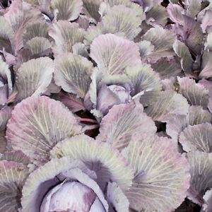 Suttons Vegetable Red Cabbage F1 Lodero Organic EU Standard  Seeds - Leicester, United Kingdom - Suttons Vegetable Red Cabbage F1 Lodero Organic EU Standard  Seeds - Leicester, United Kingdom