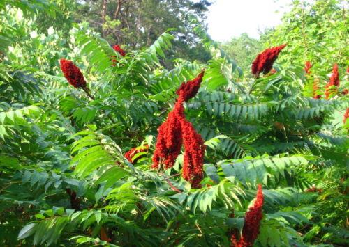 Saatgut Rhus coriaria Graines Zumaque Semi 100 semillas
