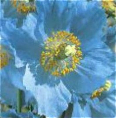 * POPPY HIMALAYAN BLUE-MECONOPSIS BETONICIFOLIA * PERENNIAL!! 100 SEEDS