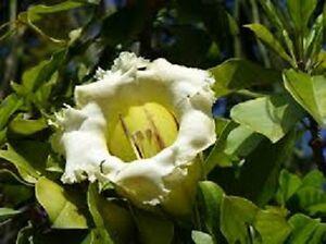 10-graines-de-LIANE-ABRICOT-Solandra-grandiflora-CHALICE-WINE-Seeds-samen