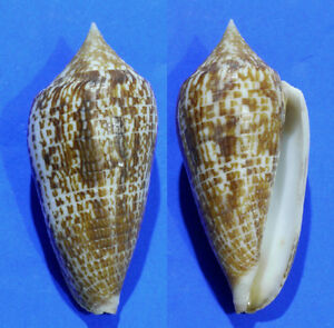 Formosa/shells/Conus armadillo 67mm.
