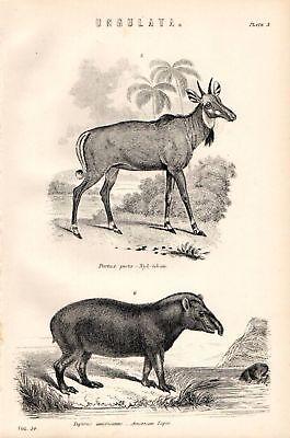 Art Purposeful 1880 Print ~ Ungulata Nyl Ghau ~ American Tapir Selling Well All Over The World