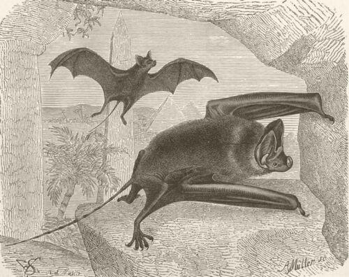 Long-tailed bat 1893 old antique vintage print picture BATS